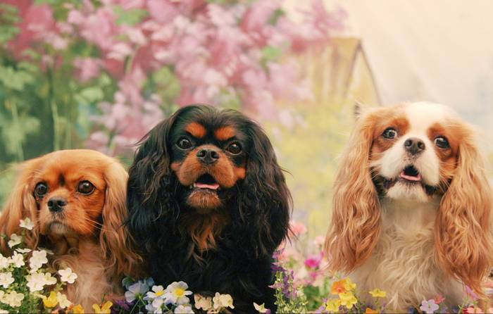 Year Of The Dog The Cavalier King Charles Spaniel Nowness